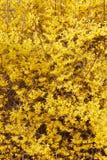 Forsythia, желтая весна цветет предпосылка Стоковая Фотография