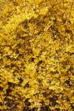 Forsythia, желтая весна цветет предпосылка Стоковое Изображение