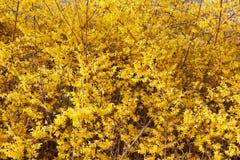 Forsythia, желтая весна цветет предпосылка Стоковое фото RF