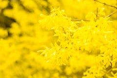Forsythia - зацветая желтые цветки Стоковое фото RF