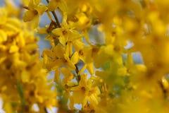 Forsythia показывая обилие эффектного col золота весны стоковые фотографии rf