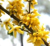 forsythia снежный стоковое изображение