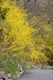 Forsythia Stock Photos