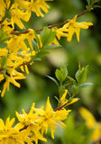 Forsythia Stockbild