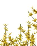 Forsythia Photographie stock libre de droits