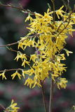 Forsythia. In flower close up Royalty Free Stock Image