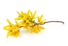 Free Forsythia Royalty Free Stock Photo - 18809295