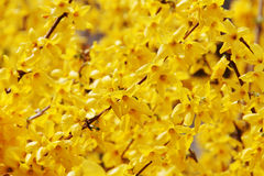 Forsythia. Stockfotos