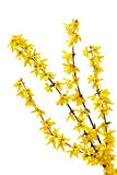 forsythia Royaltyfria Bilder
