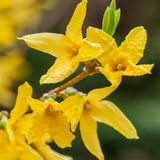 Forsythia Stock Photography