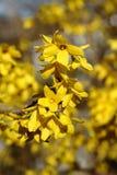 Forsythia Arkivbilder