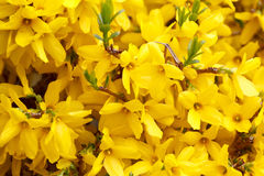 Forsythia Stock Image