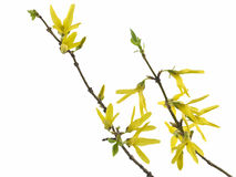 Forsythia. Spring forsythia branch with buds on white background royalty free stock photography