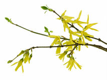 Forsythia. Spring forsythia branch with buds on white background stock image
