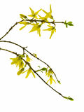 Forsythia. Spring forsythia branch with buds on white background stock images