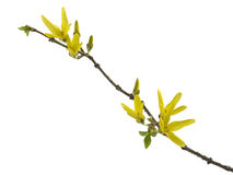 Forsythia. Spring forsythia branch with buds on white background stock photos