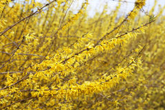 forsythia Royaltyfri Foto