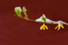 Forsythia, χιονισμένο Στοκ Φωτογραφίες