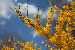 Forsythia Stock Images