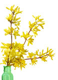 Forsythia Royalty-vrije Stock Foto