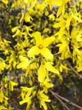 Forsythia In spring. April. Forsythia is also one of the plant& x27;s common names, along with Easter tree; the genus is named after William Forsyth. a genus of royalty free stock photo