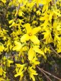 Forsythia au printemps avril photo libre de droits