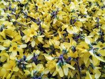 Forsythia au printemps image stock