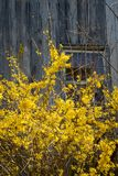 Forsythia and Barn Royalty Free Stock Image