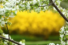 Forsythia is a beautiful bush especially in spring because before it leaves, it blooms with a huge amount of yellow flowers. royalty free stock photos