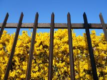 Forsythia behind the fence Royalty Free Stock Image