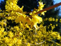 Forsythia-bloeiende struik van goud royalty-vrije stock foto