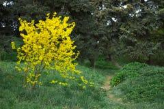 Forsythia blommar, busken som blommar i tidig vår Arkivfoton