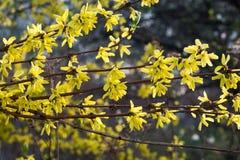 Forsythia blommar fattar på makro Arkivbilder