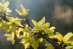 Forsythia blommar fattar på makro Royaltyfria Foton