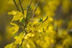 Forsythia blommar fattar på makro Arkivfoto