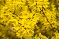 Forsythia blommar fattar på makro Fotografering för Bildbyråer
