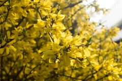 Forsythia blommar fattar på makro Arkivfoton