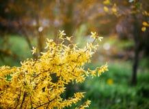 Forsythia blommar framme av med grönt gräs och blå himmel Guld- Klocka, intermedia för gränsforsythiaforsythia x, forsythiaeuro Arkivbild