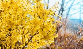 Forsythia blommar framme av med grönt gräs och blå himmel Guld- Klocka, intermedia för gränsforsythiaforsythia x, forsythiaeuro Royaltyfria Bilder
