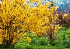 Forsythia blommar framme av med grönt gräs och blå himmel Guld- Klocka, intermedia för gränsforsythiaforsythia x, forsythiaeuro Royaltyfri Foto