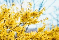 Forsythia blommar framme av med grönt gräs och blå himmel Guld- Klocka, intermedia för gränsforsythiaforsythia x, forsythiaeuro Royaltyfri Bild