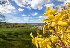 Forsythia blommar framme av med grönt gräs och blå himmel med vita moln, Jomfruland, Norge Royaltyfri Fotografi