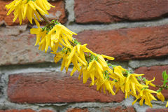 Forsythia blommar framme av väggen Arkivfoto