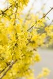 Forsythia blommar guld- Klocka, intermediaen för gränsforsythiaforsythia x, europaeaen som blommar i vårträdgårdbusken, solpanell Arkivfoton
