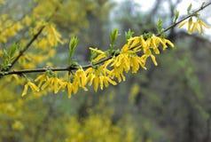 Forsythia blommar i vårregn Fotografering för Bildbyråer