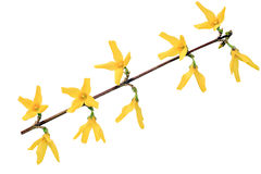 Forsythia blommar på vit Arkivfoto