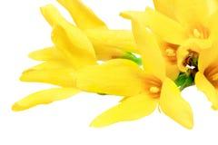 Forsythia blommar på vit bakgrund. Isolerat. Fotografering för Bildbyråer