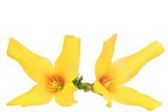 Forsythia blommar på vit bakgrund. Isolerat. Royaltyfri Bild