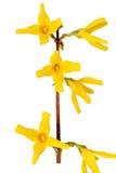 Forsythia blommar på vit bakgrund. Isolerat. Royaltyfria Bilder