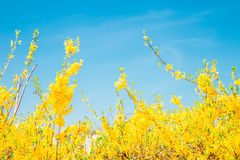 Forsythia blommar under himmel Royaltyfri Fotografi